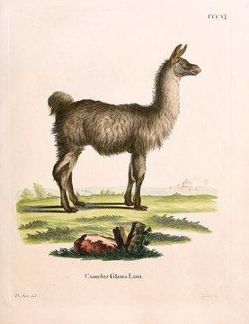 Illustration of a llama