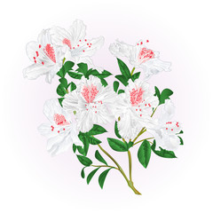 White rhododendron twig with flowers and leaves mountain shrub vintage  vector illustration editable hand draw