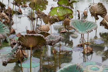 Waterlily pond, dry and dead water lilies, dead lotus flower, beautiful colored background with water lily in the pond