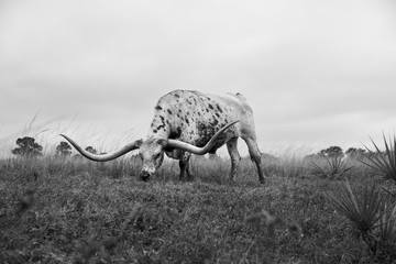 A longhorn steer grazes in a pasture.