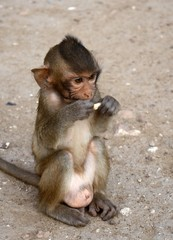 Long-tailed macaque, Lopburi, Thailand