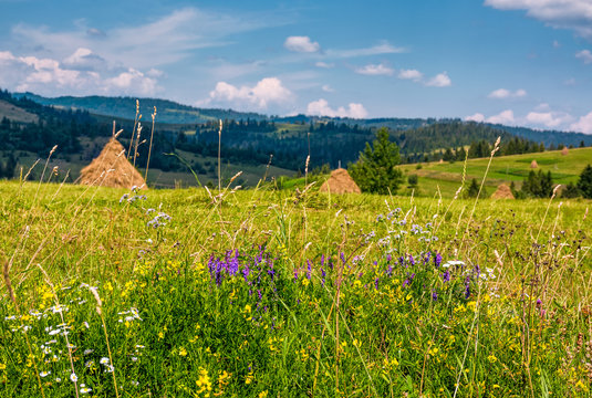 wild herbs on a rural field in summer countryside. lovely scenery in Carpathian mountains