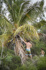 Father and son picking coconuts