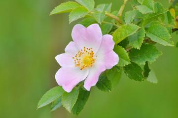 Wild rose pink flower, dog rose, Rosa canina