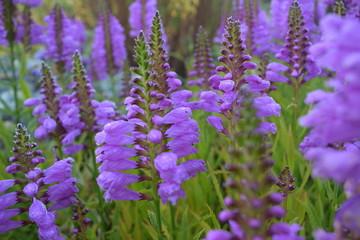 Purple Flowers (Obedient Plant)