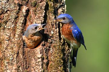 Fotoväggar - Eastern Bluebirds