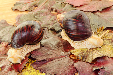 Two Giant african Achatina snails on grape leaves.