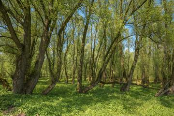 Green Forrest / Woodland At Millingerwaard Netherlands