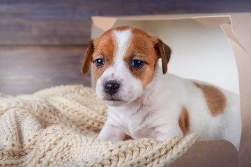 Funny puppy Jack Russell Terrier sitting on a blanket in a box on wooden background