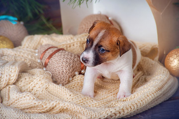 Cute puppy Jack Russell Terrier on a blanket in a box on the background of Christmas decorations