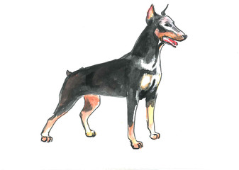 This is nice watercolour paint of dog doberman. It is illustration suite into the child books.