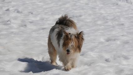 Cane pastore sulla neve