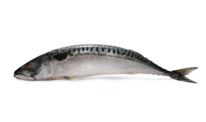 Whole Atlantic mackerel (Scomber scombrus) fish isolated on a white