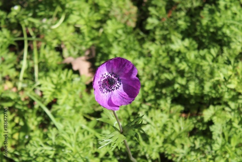 Fleur Mauve De Mon Jardin Stock Photo And Royalty Free Images On