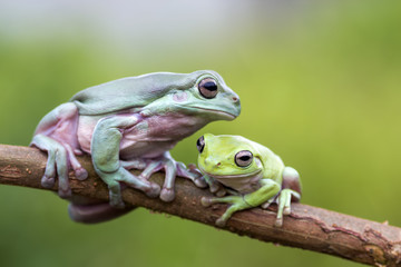 mammal friendship, frog, tree frog, dumpy frog,