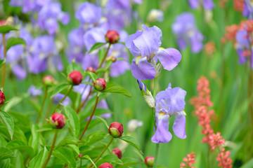 Irises, Peonies and Coral Bells