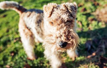 Dog. Fox terrier. Animals concept