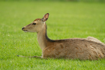 A young roe lays in a clearing. Summer shooting in the park. Behind the trees are seen