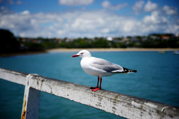 Close up portrait of seagull bird against blue sky and shore in the background.