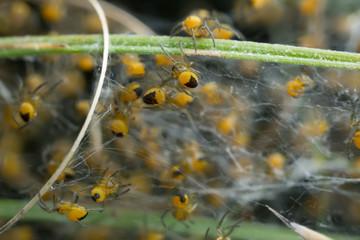 European garden spider juveniles, Araneus diadematus in web