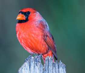 Vibrant Male Northern Cardinal