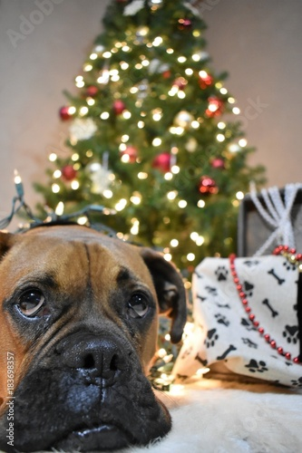 Boxer Breed Dog Christmas Portrait Wrapped Up In Lights Stock Photo
