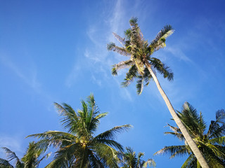 Summer nature scene, Tropical plants, Coconut palm trees on blue sky background.