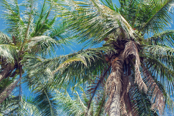 Coconut palms and blue sky with light clouds