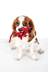 Dog with toy. Cute cavalier king charles spaniel dog puppy on isolated white studio background. Dog puppy with toy.