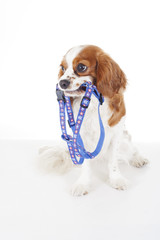 Cute cavalier king charles spaniel dog puppy on isolated white studio background. Dog puppy with harness. Cute.