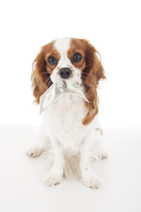 Cute cavalier king charles spaniel dog puppy on isolated white studio background. Dog puppy with american dollar money bill. Dog costs symbol. Cute.