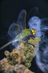 Macro detail of dragonfly sitting on cannabis nug with smoke rings