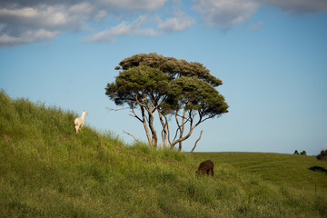 alpacas with tree blue sky