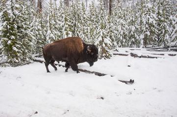 Buffalo at Yellowstone NP