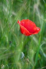 Poppy flower in grass