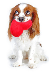 Cute cavalier king charles spaniel dog puppy on isolated white studio background. Dog puppy with plush big heart. Cute.
