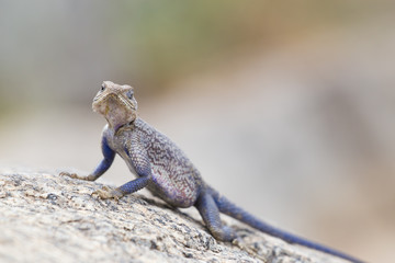 Mwanza flat-headed rock agama, aka spiderman agama, Serengeti National Park, Tanzania.