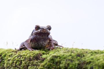 Megophrys parva (Lesser Stream Horned Frog) : frog on white background. Amphibian of Thailand
