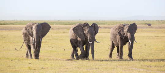 Herd of lephants at Amboseli National Park, formerly Maasai Amboseli Game Reserve, is in Kajiado District, Rift Valley Province in Kenya. The ecosystem that spreads across the Kenya-Tanzania border.
