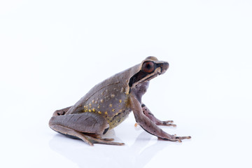 Megophrys parva (Lesser Stream Horned Frog) : frog on white background. Amphibian of Thailand