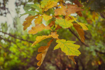 Autumn oak leaves on a branch - close-up