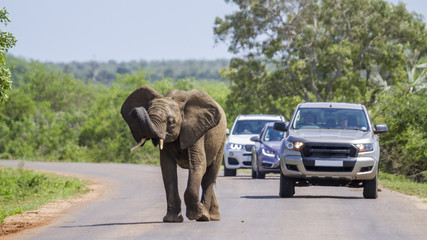 Autocollant pour porte Afrique du Sud African bush elephant in Kruger National park, South Africa