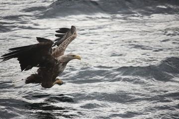 Norwegen, Norway, Seeadler, Sea Eagle