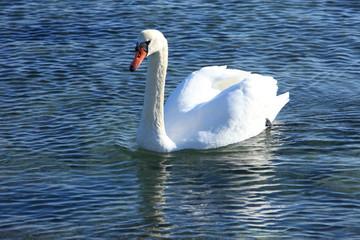 Noble swan (Mute swan | Cygnus olor)