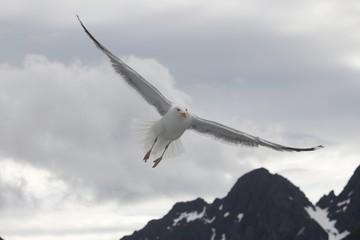Norwegen, Norway, Raftsund, Möwe, Seagull