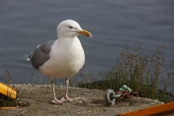 Norwegen, Norway, Möwe, Seagull