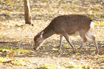 Female deer in the field.