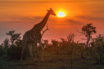 Foto auf AluDibond Giraffe Giraffe in Kruger National park, South Africa