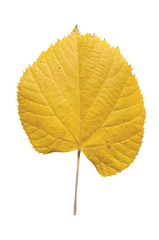 Autumn yellow leaf from city park tree isolated on white background