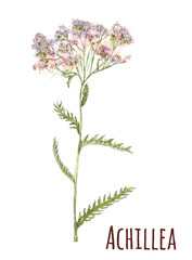 Achillea (yarrow), medicinal plant. White, pink small flowers and green leaves, hand draw watercolor painting, realistic botanical illustration on white background